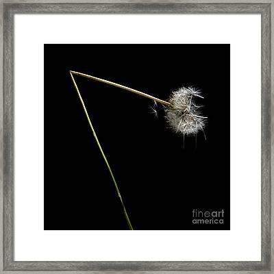 Dandelion With Broken Stem. Framed Print
