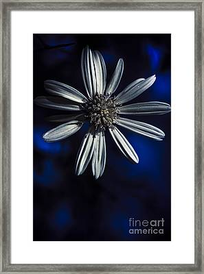 Dark Blue Daisy Blossoming In A Romantic Twilight  Framed Print by Jorgo Photography - Wall Art Gallery