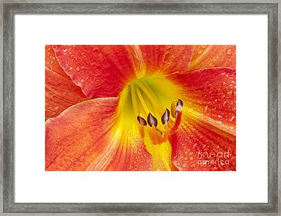 Daylily Framed Print by Jonathan Welch