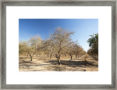 Dead And Dying Almond Trees Framed Print by Ashley Cooper