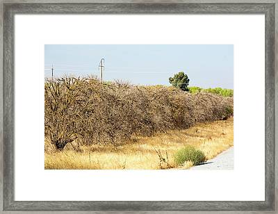 Dead And Dying Orange Trees Framed Print