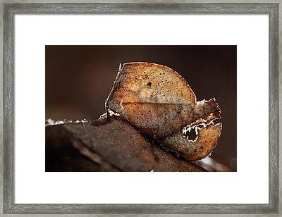 Dead Leaf Grasshopper Nymph Framed Print by Melvyn Yeo
