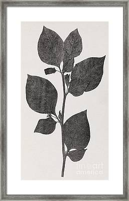 Deadly Nightshade, 19th Century Artwork Framed Print by Middle Temple Library