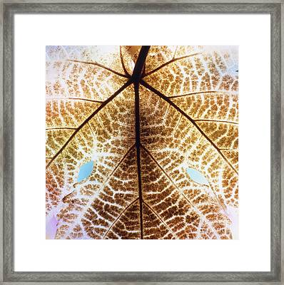 Decomposition Of Leaf Of A Grape Vine Framed Print by Dr. Jeremy Burgess