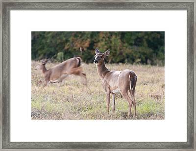 Deer At Paynes Prairie Framed Print