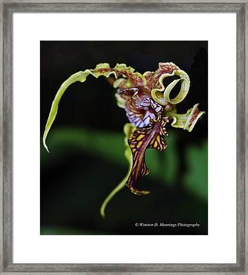 Dendrobium Spectabile Framed Print
