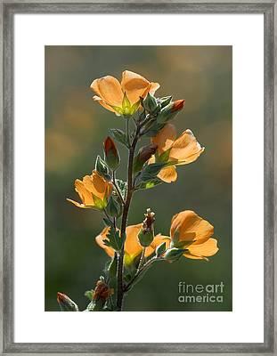 Desert Globemallow Sphaeralcea Ambigua Framed Print