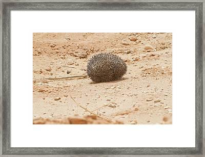 Desert Hedgehog (paraechinus Aethiopicus) Framed Print