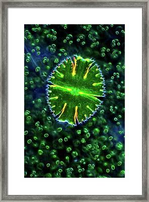 Desmid And Chlorophytes Framed Print