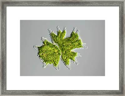 Desmid Zygote Framed Print by Frank Fox