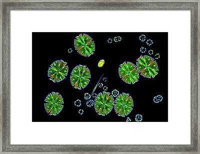 Desmids And Dictyosphaerium Green Algae Framed Print