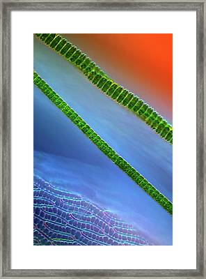 Desmids On Sphagnum Moss Framed Print