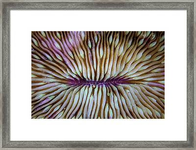 Detail Of A Mushroom Coral Fungia Sp Framed Print by Ethan Daniels