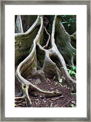 Detail Tree Roots Rain Forest Framed Print by Dirk Ercken