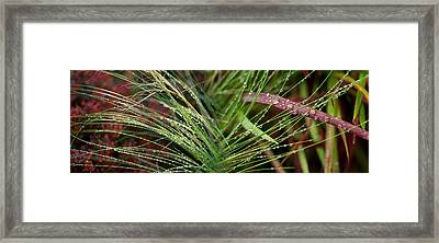 Dew Drops On Grass Framed Print
