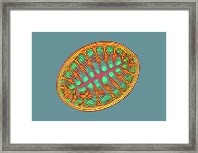 Diatom Framed Print by Frank Fox