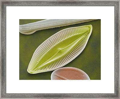 Diatom, Sem Framed Print by Power And Syred