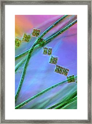 Diatoms And Cyanobacteria Framed Print by Marek Mis