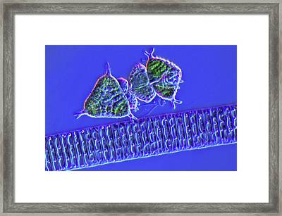 Diatoms And Desmids Framed Print by Marek Mis