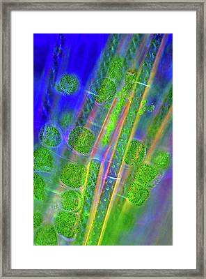 Diatoms And Spirogyra Algae Framed Print