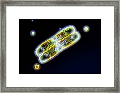 Diatoms Framed Print by Frank Fox