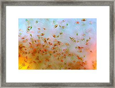 Diatoms, Lm Framed Print by Marek Mis