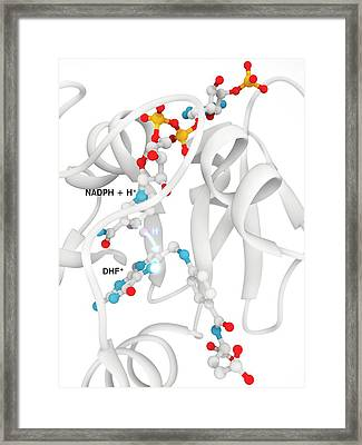 Dihydrofolate Reductase And Folic Acid Framed Print