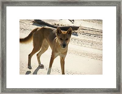Dingo Framed Print