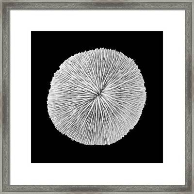 Disk Coral Or Fungia Coral Framed Print by Jim Hughes