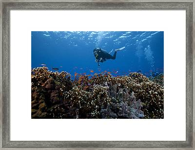 Diver And Schooling Anthias Fish Framed Print