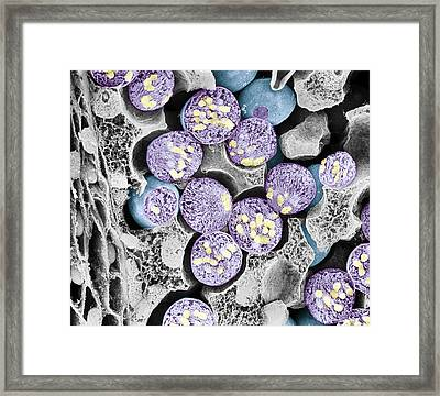 Dividing Pollen Cell Framed Print by Professor T. Naguro