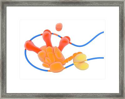 Dna Transcription Framed Print by Science Photo Library