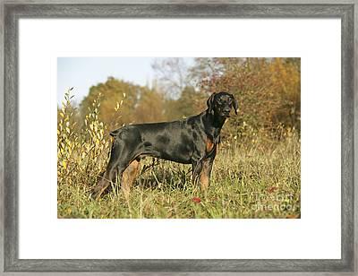 Dobermann Dog In Autumn Framed Print by John Daniels
