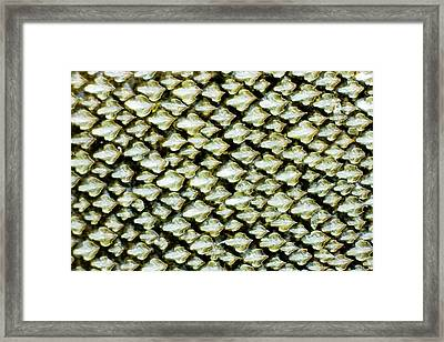Dogfish Skin Framed Print by Dr Keith Wheeler