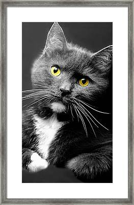 Domestic Gray And White Short Hair Framed Print by Diana Angstadt