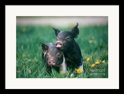 Piglets Framed Prints