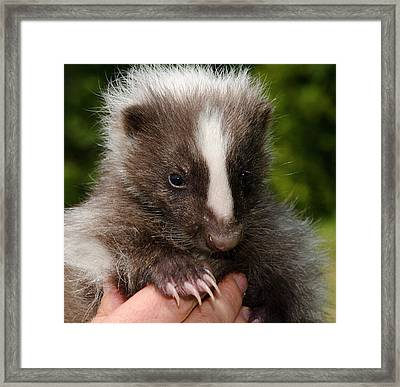 Domestic Striped Skunk Framed Print by Nigel Downer