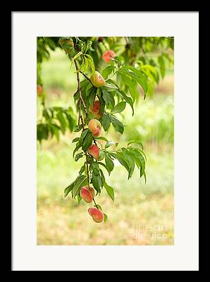 Peach Photographs Framed Prints