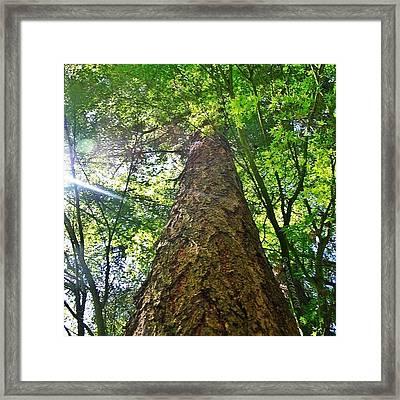 Douglas Fir Tree Rising Framed Print