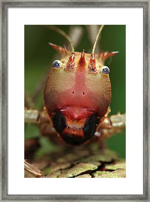 Dragon-headed Katydid Framed Print