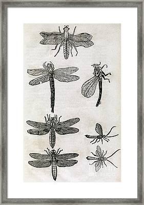 Dragonflies, 17th Century Artwork Framed Print