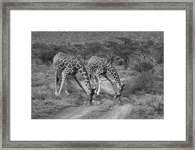 Drinking In Tandem Framed Print by Michele Burgess