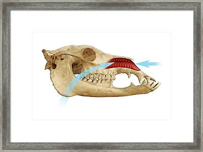 Dromedary Camel's Nose And Skull Framed Print by Mikkel Juul Jensen