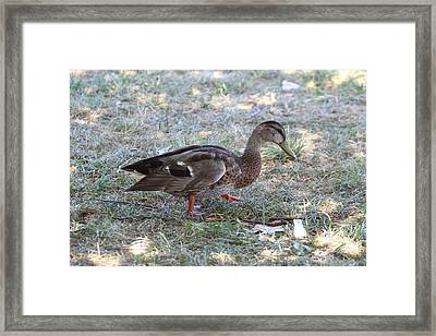 Duck - Animal - 01131 Framed Print by DC Photographer
