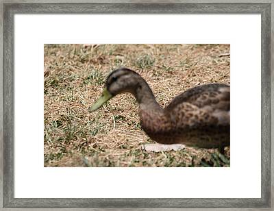 Duck - Animal - 011316 Framed Print by DC Photographer