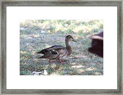 Duck - Animal - 01133 Framed Print by DC Photographer
