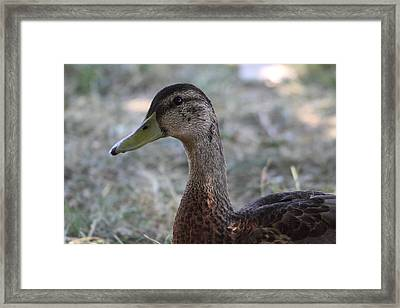 Duck - Animal - 01136 Framed Print