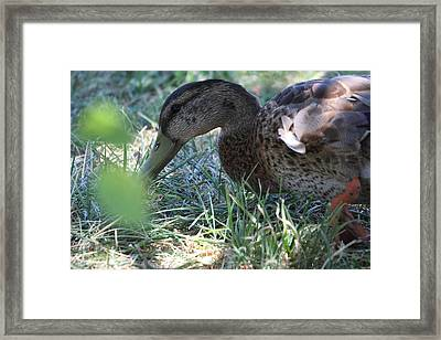 Duck - Animal - 01138 Framed Print by DC Photographer