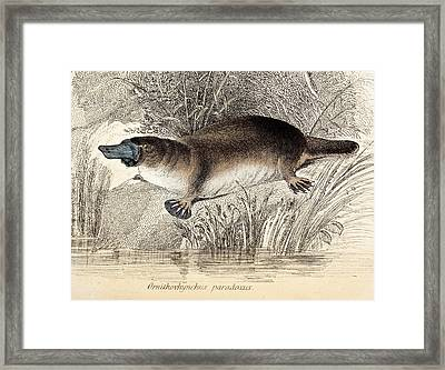 Duck-billed Platypus Framed Print by Paul D Stewart