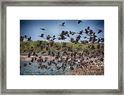 Duck Frenzy  Framed Print by Douglas Barnard